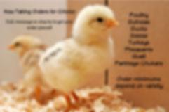 Now Taking Orders for Chicks.jpg