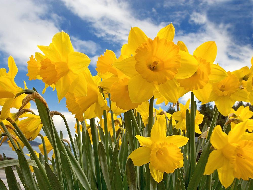 daffodils1.jpg