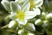 scleranthus_remedyImage.png