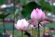 lotus-2323185_960_720.jpg
