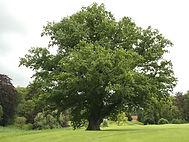 Oak - Quercus-robur.jpg
