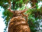 madeira sucupira.jpg