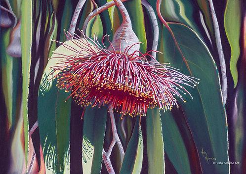 Greeting Card | 'Flowering Gum Nuts' Eucalyptus, Western Australia