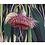 Thumbnail: Greeting Card | 'Flowering Gum Nuts' Eucalyptus, Western Australia