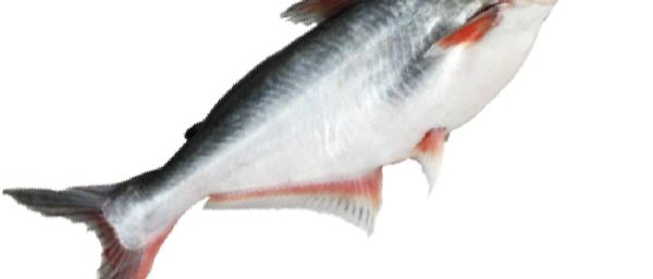 Pyasi Fish(the Pangasiodon hypothalamus/Pangassius) (With Head) (Net Weight 1kg)