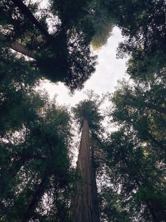 Mendocino Redwoods