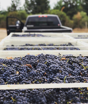 The deep end of Anderson Valley. Pinot harvest.