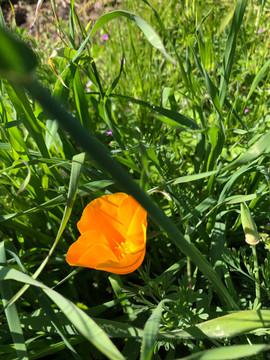 CA state flower, the poppy!