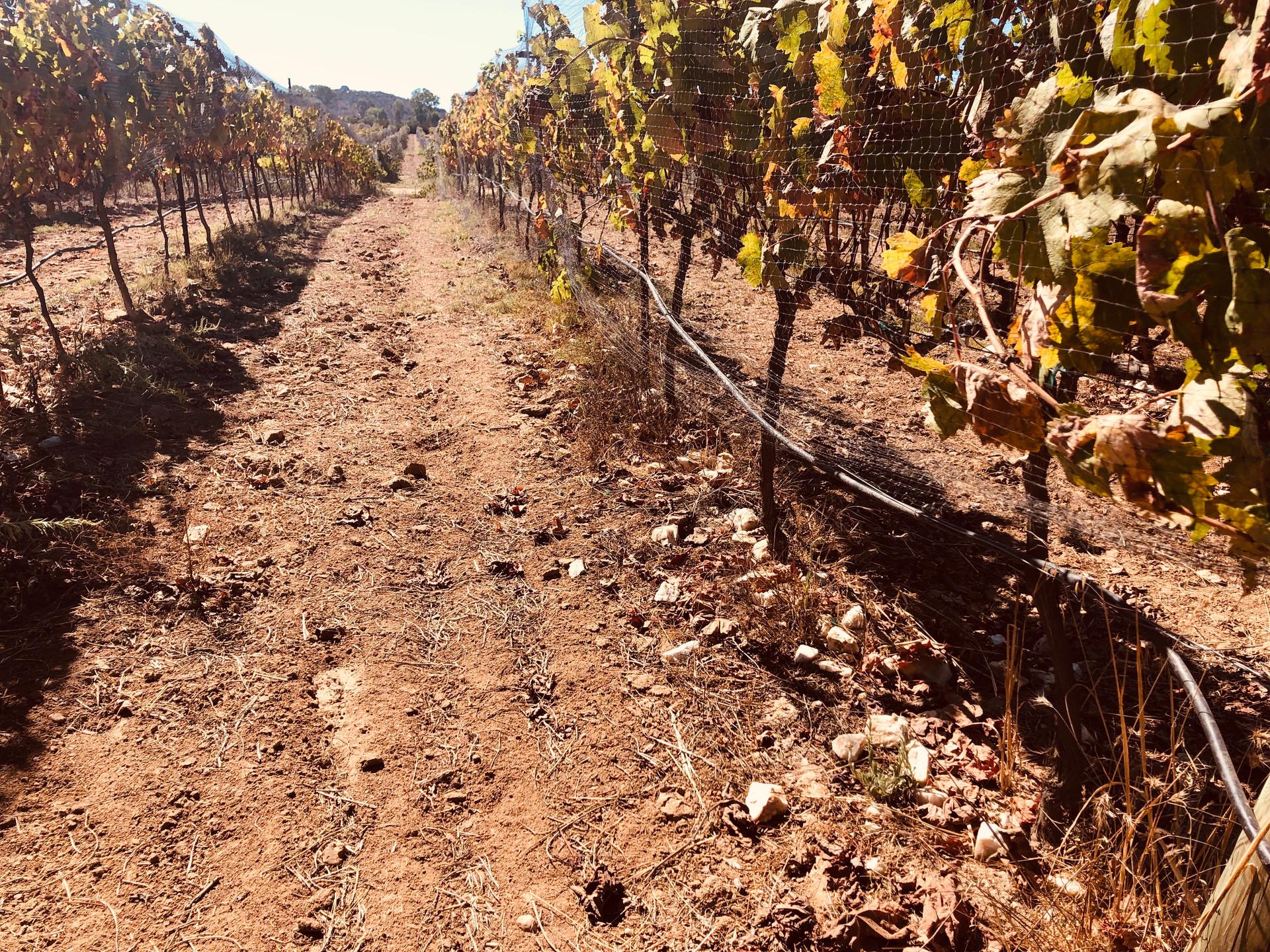 Vineyards 1