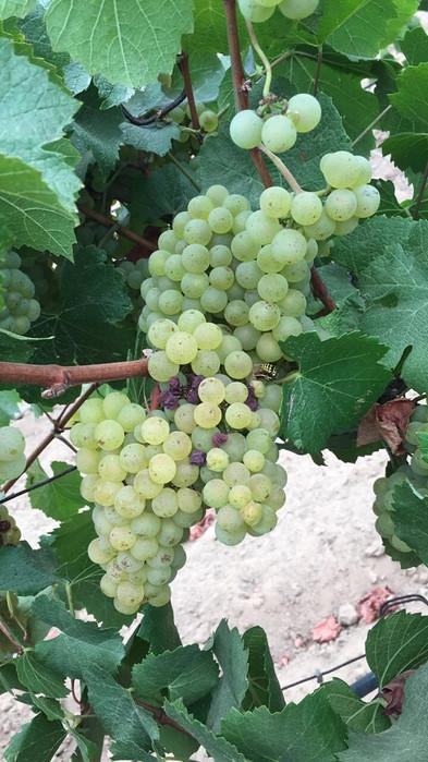 Zanzonico Chardonnay 3.jpg
