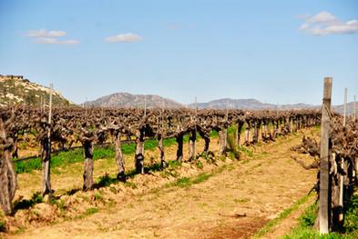 Ancient vines.jpg
