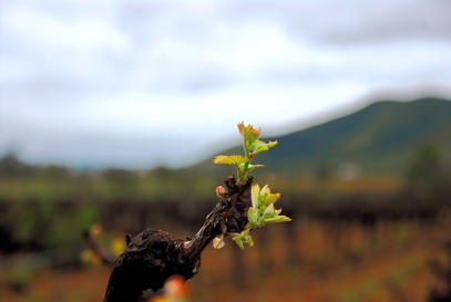Ancient Russian vines blooming again