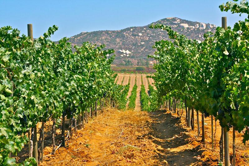 Paoloni vineyards 2.jpg