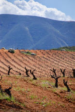 Dry farmed vines of Valle de Guadalupe