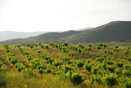 Dry farmed vineyards of Valle de Guadalupe