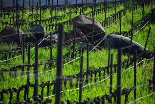 Organic vineyard pedregal of Vinisterra in Valle de Guadalupe