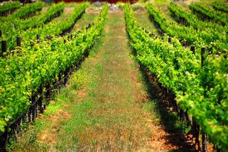 Vineyards in Valle de Guadalupe