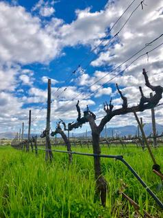 Organic biodynamic natural vineyards of Carrodilla Valle de Guadalupe Baja California Mexico