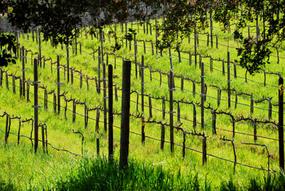 Organic natural vineyards of Mina Penelope