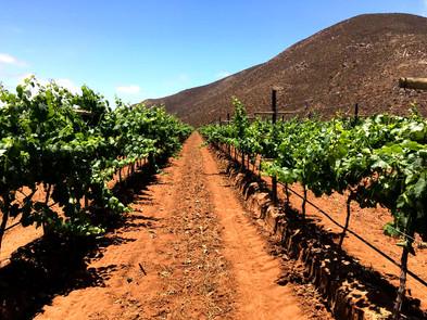 Zanzonico Chardonnay vineyard.jpg