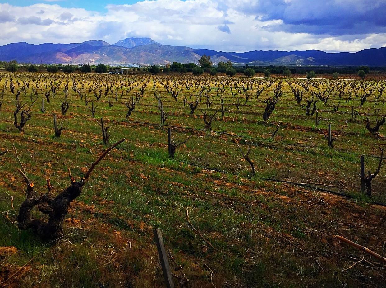Old Vine Grenache.jpg