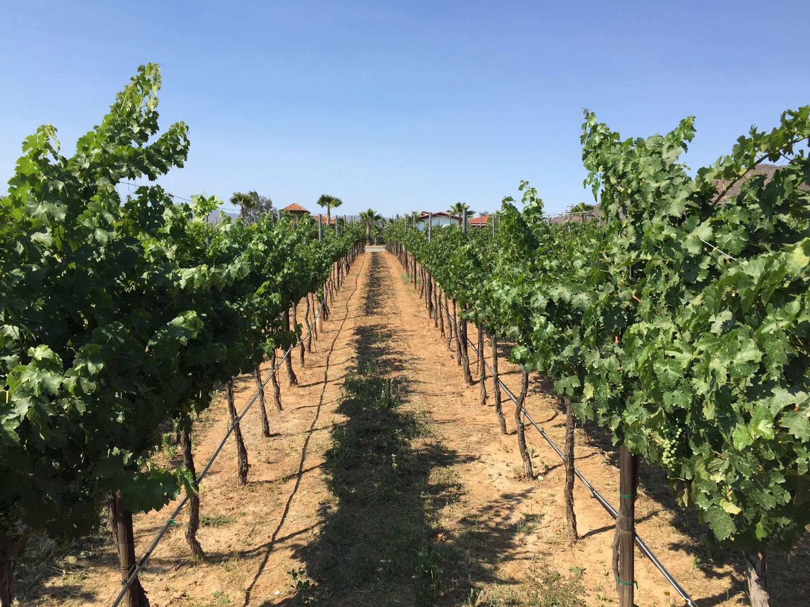 Lechuza Vineyards 3.jpg