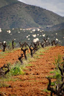 Dry farmed old vine Valle de Guadalupe. Natural Mexican pride