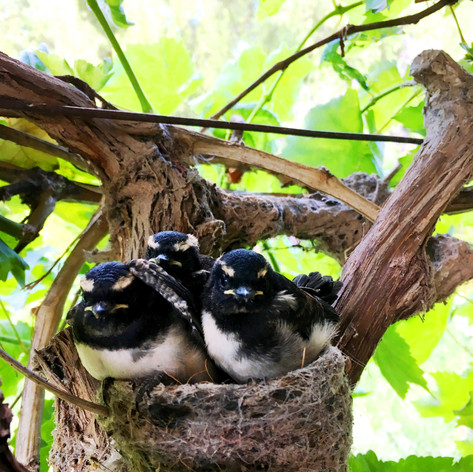Willy Wagtail Chicks