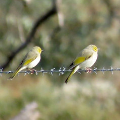 White-plumed Honeyeaters