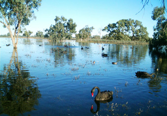 Black swans - office of environment  fli