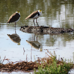 Plovers (Lapwings) looking back!