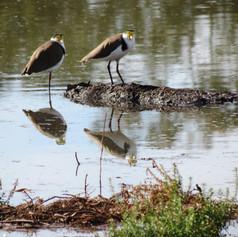 Plovers (Lapwings) looking back!
