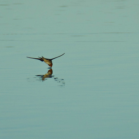 Swallow taking a dive