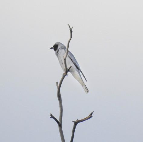 Black-faced Cuckoo Shrike