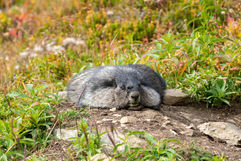 Flat Marmot