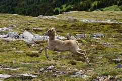 Baby Mountain Lamb
