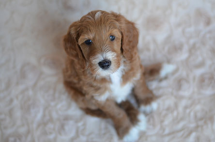 Tuxedo Goldendoodle Puppies for sale in Iowa, Illinois and Wisconsin