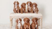 Goldendoodles & Allergies