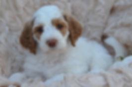 Wisconsin Teddybear Goldendoodle breeder