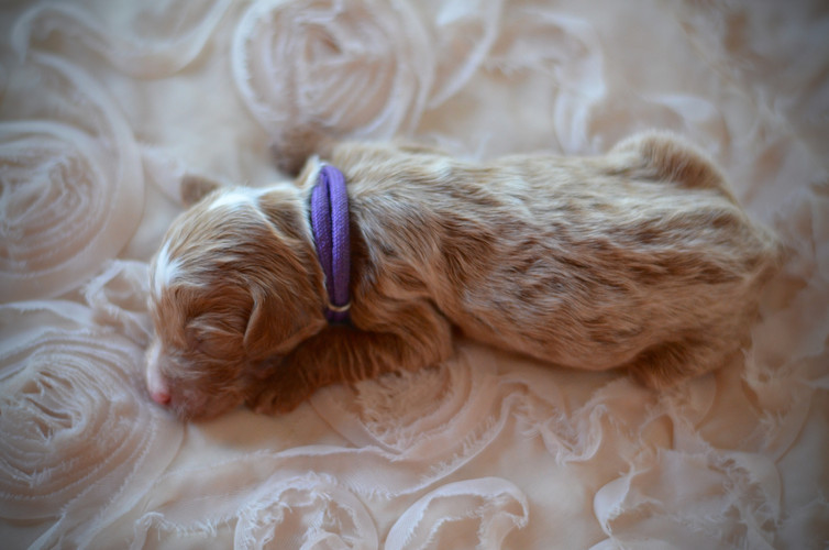 Purple female goldendoodle