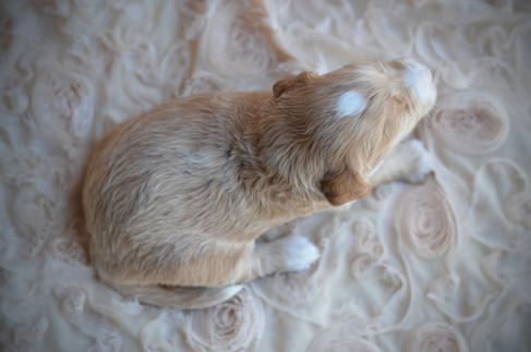 petite goldendoodle