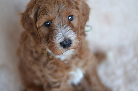 tuxedo goldendoodle puppies for sale