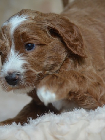 Green male goldendoodle
