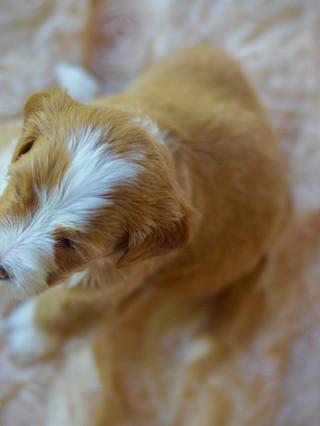 Mini tuxedo goldendoodle