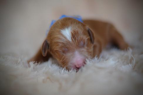 Tuxedo Petite Goldendoodle
