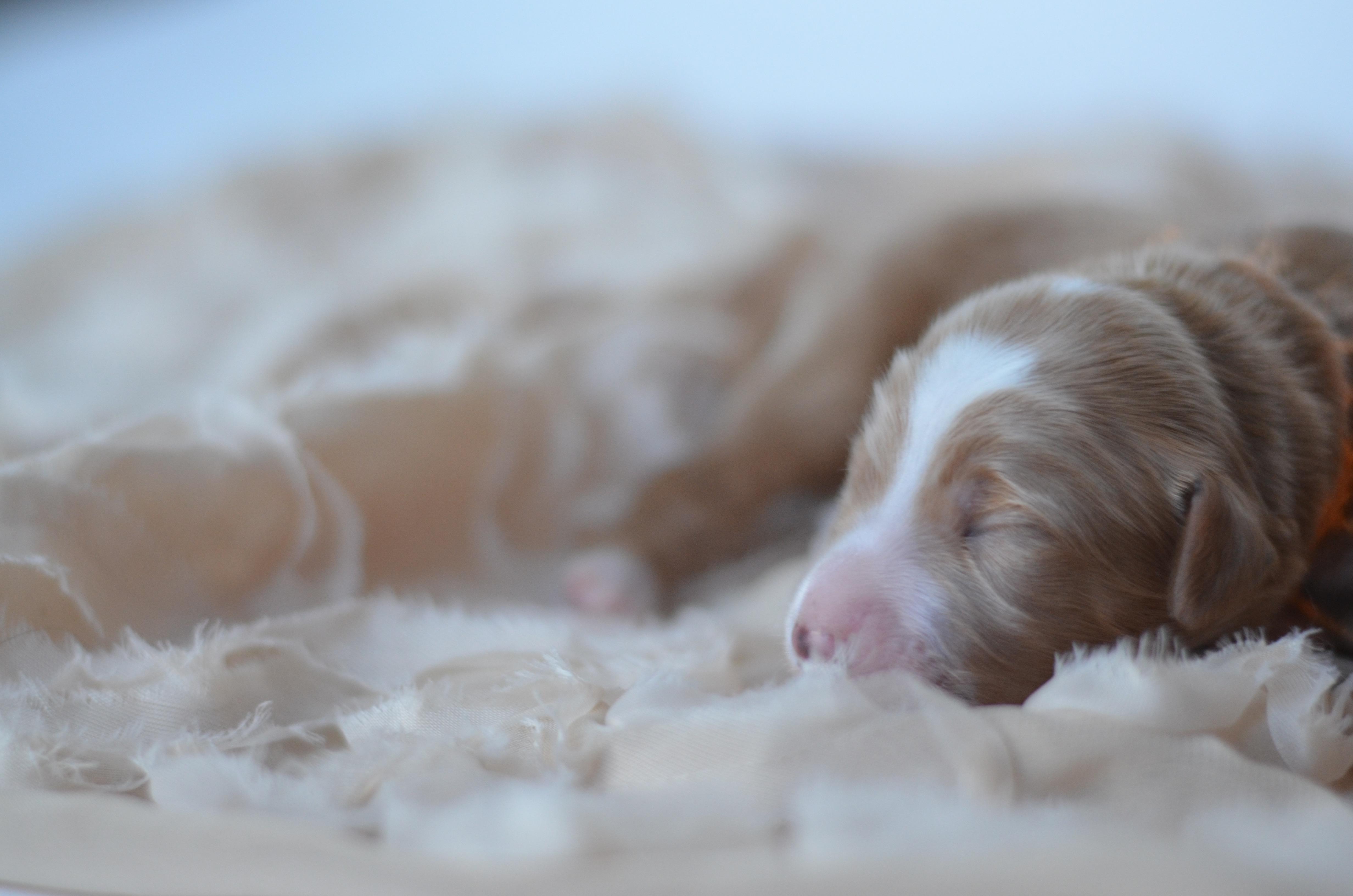 Petite/Mini Goldendoodles