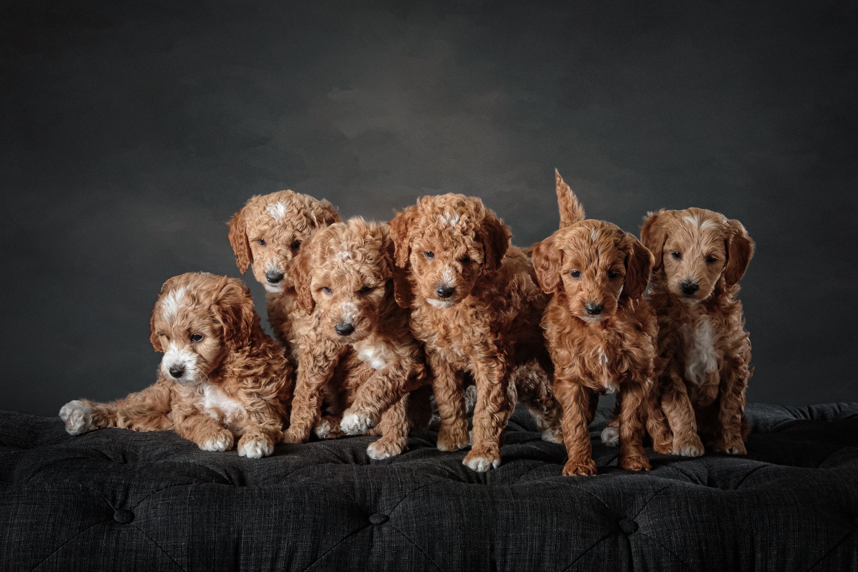 Petite Goldendoodles