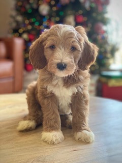 Medium Goldendoodle