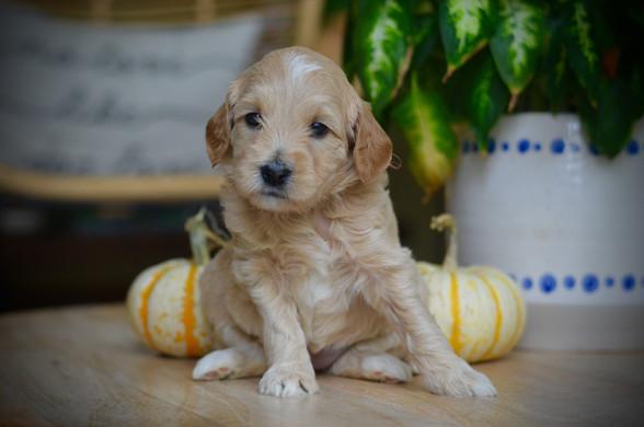 Petite Tuxedo Goldendoodle