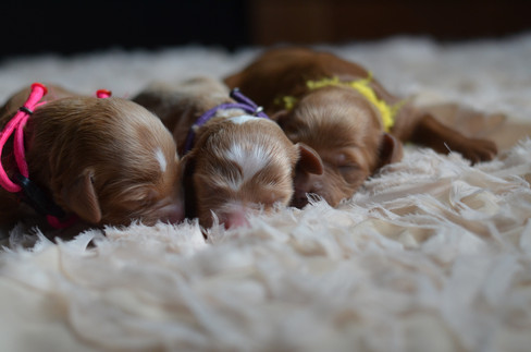 Willow's female goldendoodles